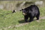 Ours noir / American Black Bear (Ursus americanus)