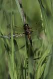 Libellule quadrimaculée / Four-spotted skimmer male (Libellula quadrimaculata)