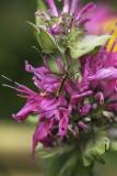 Tipule tigrée / Tiger Crane Fly (Nephrotoma lugens)