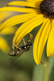Guêpe poliste / European Paper Wasp (Polistes dominula)