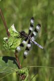 Libellule gracieuse / Twelve-spotted skimmer male (Libellula pulchella)