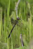 Anax de juin / Common green darner (Anax junius)