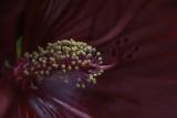 Hibiscus (pistil et étamines)