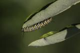Monarque / Monarch butterfly (Danaus plexippus) - Chenille / Caterpillar