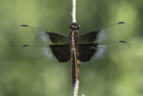 Libellule mélancolique / Widow skimmer immature male (Libellula luctuosa)