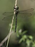 Aeschne des pénombres / Shadow darner male (Aeshna umbrosa umbrosa)