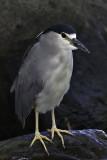Bihoreau gris / Black-crowned Night-Heron (Nycticorax nycticorax)
