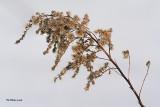 Fleurs de Verge d'or
