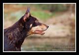 kelpie in the avon river