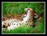 cheetah yawn #3
