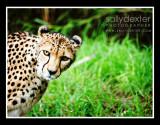 cheetah peek