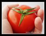 tomato handshake