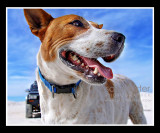 cattle dog on the beach