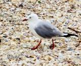 Red Bill Gull
