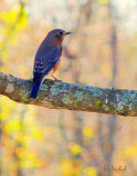 Autumn Bluebird