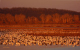 Snow Geese at the Golden Hour