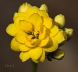 Kalanchoe Blossom