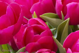 April Means Tulips
