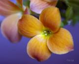 Orange Kalanchoe Blossom