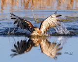 Red Tail in the water