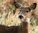 Bambi's Mom