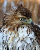 Wild Red Tail Hawk Juvenile