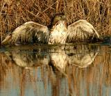 Hawk in Marsh