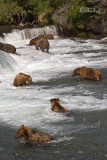 Seven Wild Grizzly Bears