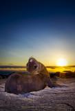 Galapagos Sea Lion Pup Sunset