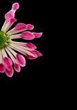 Chrysanthemum...