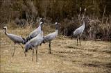 Cranes at Hula.jpg