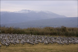 Cranes at Hula Wetlands with Mount Hermon in the Background