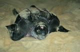 Leatherback Laying