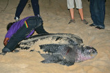 Leatherback being tagged
