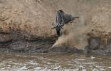 Wildebeest leap of faith