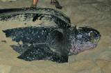 Leatherback female
