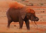 Why Tsavo Elephants are red!