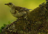 Thrushes (Turdidae)