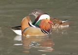 Mr and Mrs Mandarin Duck.