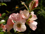 Quince blossom 2 .