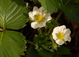 Strawberry blossom.
