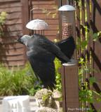 Jackdaw on feeder.