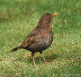 Blackbird - female.