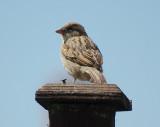 Hedge Sparrow - Female.