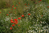 Poppy Meadow.