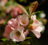 Quince Blossom.