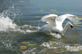 Wild Swan.