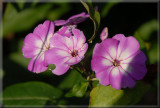 Last of the Phlox.