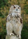 An Eagle Owl.