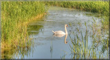 Swan at Ludham Bridge.